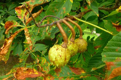 horse-chestnut-pamm-cooper-2013