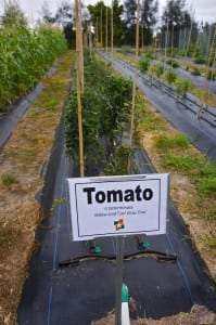 research trial tomato