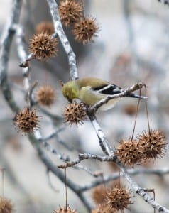 Missouri goldfinch