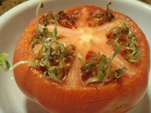 seeds-sprouting-inside-tomato-vivipary-2