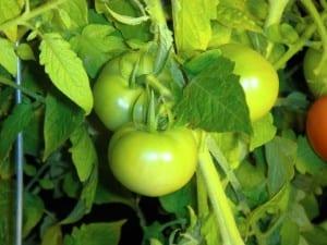 small green tomato