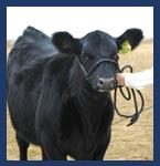 Beef Carcass Evaluation – Collaboration with The Livestock Institute of Southern New England