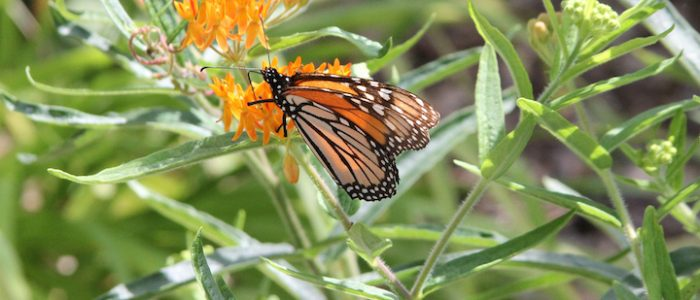 Monarch Butterfly resting on flower
