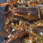 American Lobster Research & Extension Initiative newsletter