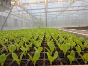 rows of seedlings growing in a greenhouse