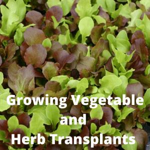 Lettuce transplant