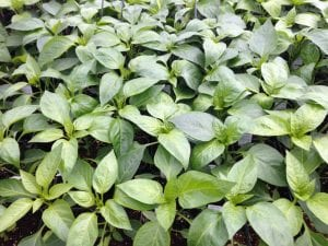 pepper transplants