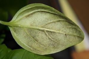basil downy mildew on a plant leaf