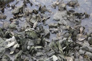 shellfish in Long Island Sound
