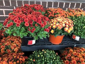 mums on a bench