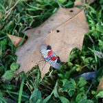 Help Maintain the Spread of the Spotted Lanternfly in Connecticut