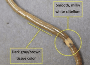 diagram that shows how to identify a jumping worm